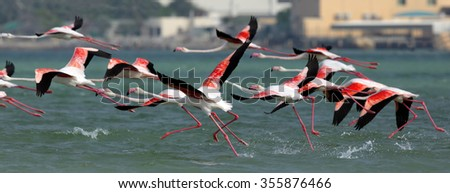 Greater Flamingo take off