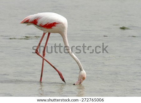 Greater Flamingo taking food