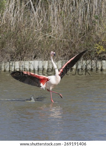 Greater Flamingos of Camargue France - stock photo