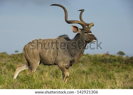 Greater kudu antelope male - stock photo