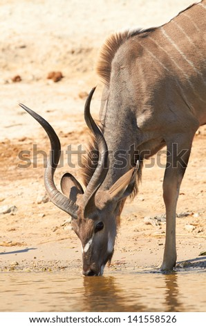 Greater Kudu (Tragelaphus Strepsceros) drinking water on the banks of the Chobe river between Botswana and Namibia in Southern Africa