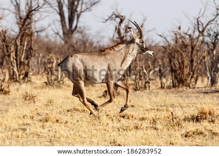 Greater Male Kudu in Chobe National Park, Botswana, Africa
