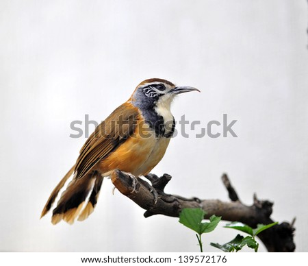 Greater Necklaced Laughing Thrush