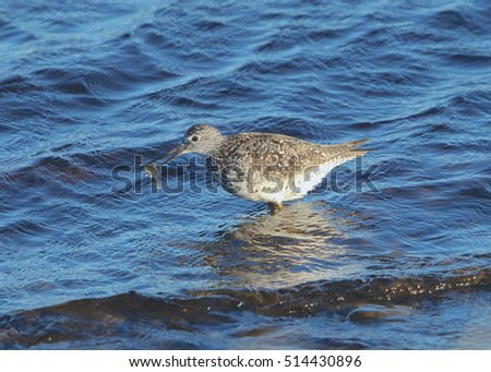 Greater or Lesser Yellowlegs with a big catch