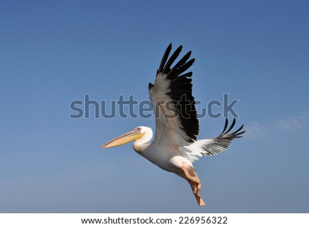 Greater Pelican flying over the Namibian coast, Atlantic Ocean - stock photo