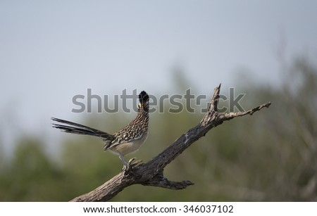Greater Roadrunner on Dead Tree Snag