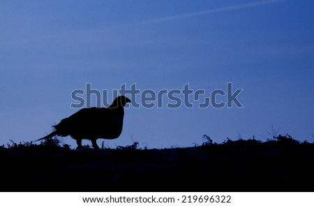 Greater Sage Grouse, Centrocercus urophasianus endangered / threatened species silhouette image with blue sky and plenty of room for text or copy upland game bird hunting in the western United States - stock photo