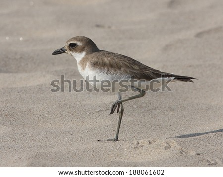 Greater Sand Plover - stock photo