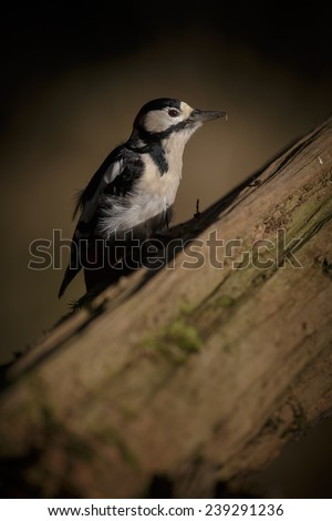 Greater spotted woodpecker in a single shaft of sunlight - stock photo