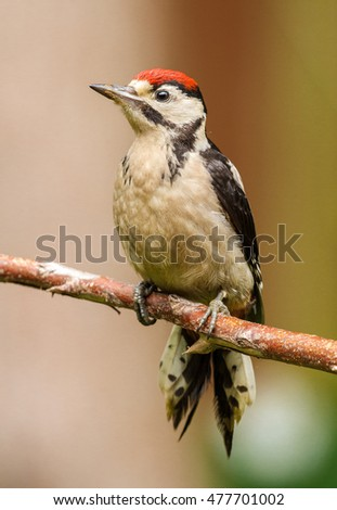 Greater spotted woodpecker juvenile perched