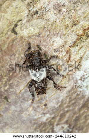 Greater Thorn-tipped Longhorn Beetle, Pogonocherus hispidulus on wood - stock photo