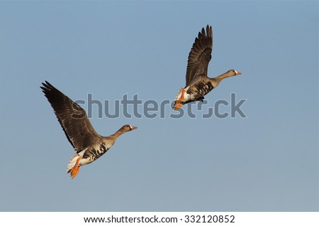 Greater White-fronted Geese, a.k.a. Specklebelly Goose, in flight against a blue sky Anser albifrons Goose and duck hunting in the Pacific and Central Flyways - stock photo