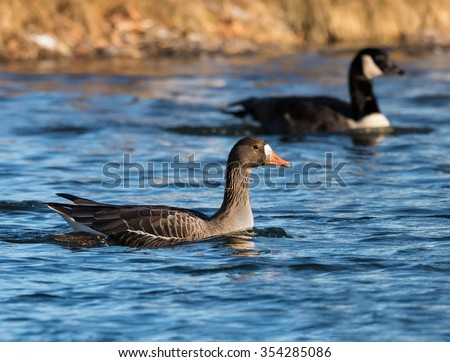 Greater White-Fronted Goose Swimming - stock photo