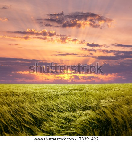 Greed Wheat Field and Beautiful Sunset Sky with Sun and Clouds