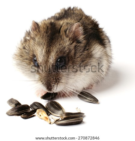 greedy little hamster on white background closeup - stock photo