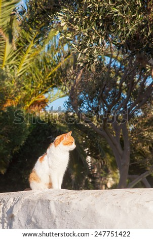 Greek cats - Beautiful home white- red cat sitting on the fence on the background of olive trees. Greece. Mykonos. - stock photo