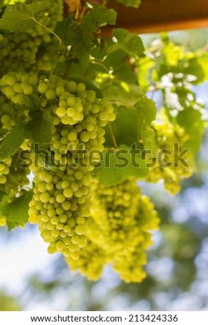 Greek grapes - stock photo
