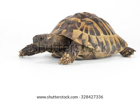 Greek land tortoise, Testudo Hermanni - stock photo