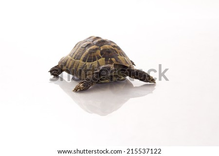 Greek land tortoise, Testudo Hermanni, shiny floor, white studio background - stock photo