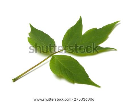 Green acer negundo leaf. Isolated on white background. - stock photo