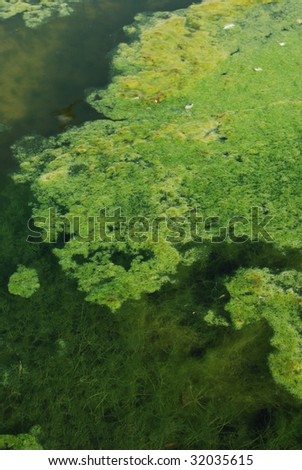 green algae swamp background - stock photo
