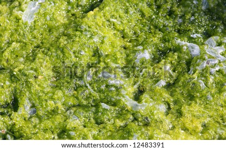 Green algae with bubble texture in water