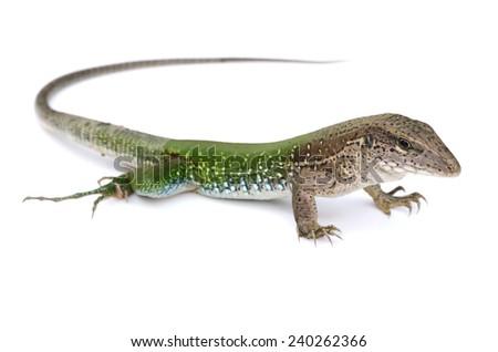 Green ameiva (Ameiva ameiva) - stock photo