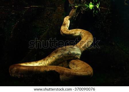 Green anaconda in the dark water, underwater photography, big snake in the nature river habitat, Pantanal, Brazil - stock photo