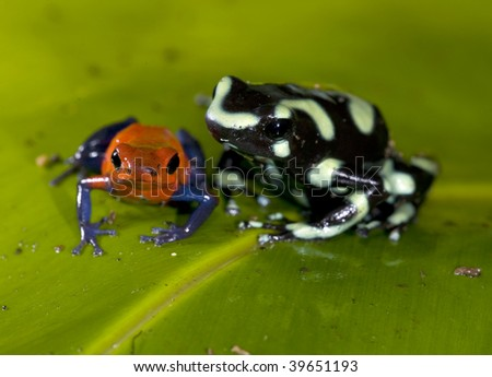 green and black dart and blue jeans or strawberry poison dart frog on green leaf, costa rica - stock photo