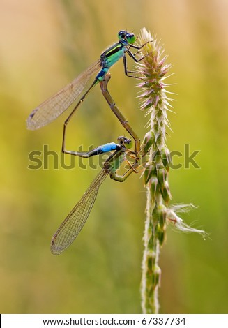 Green and blue damselfly in love in the plant - stock photo