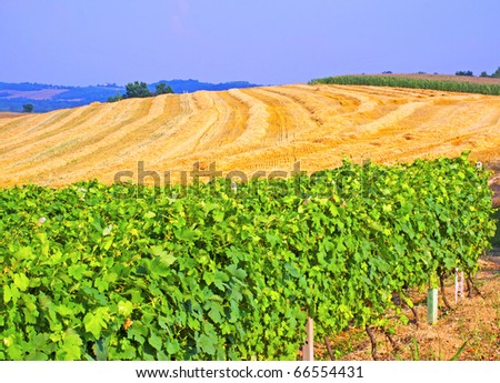 Green and gorgeous vineyard with field on the back - stock photo