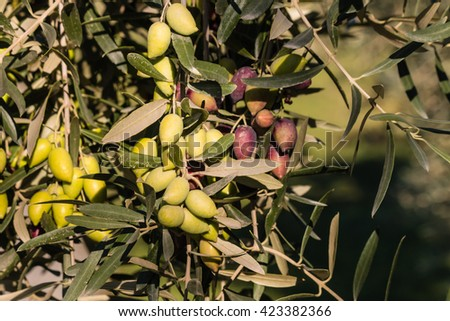 green and purple olives on olive tree - stock photo