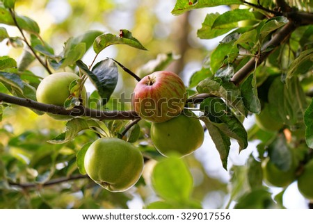 Green and red apple on the tree in the farm - stock photo