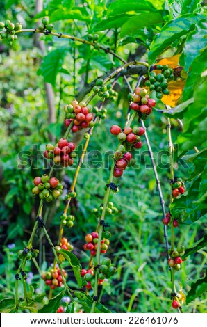 Green and red  coffee beans growing on the branch - stock photo