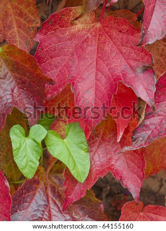 green and red leaves in autumn - stock photo