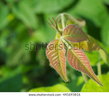 Green and red poison ivy in clusters of three leaves with the typical serrated and notched appearance. - stock photo