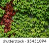 green and red wine leaves climbing up a wall - stock photo