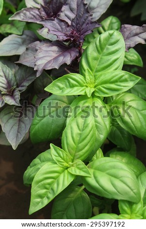 Green and violet basil on a kitchen garden - stock photo