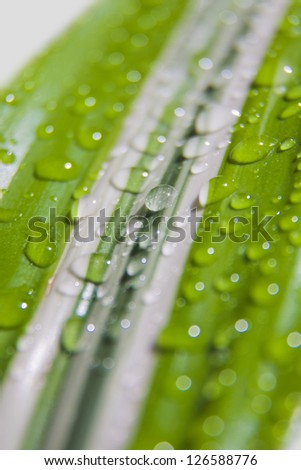 Green and white plant leaf with drops of water, close up