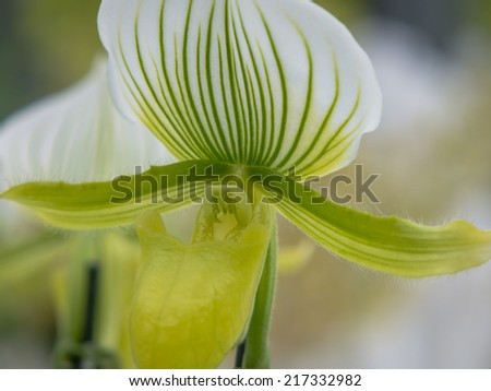 Green and white striped orchid - stock photo