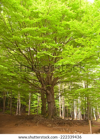 Green and wild nature, forest in Catalonia(Spain). Green tree at spring contrasting with brown leaves in ground - stock photo