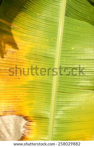 green and yellow banana leaf background - stock photo
