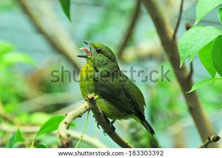 Green and yellow female Painted Bunting bird singing. It is a species of bird in the Cardinal family - stock photo