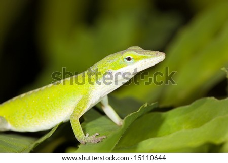 Green Anole Lizard on leaf - stock photo