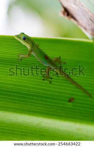 Green anole lizard on tropical plant leaf - stock photo