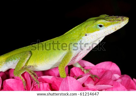 Green Anole on Pink Hydrangea - stock photo