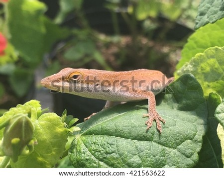Green anole sunbathing on a Turks cap plant.