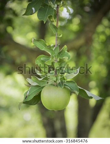 Green Apple Hanging from a Branch, Shallow Depth of Field - shot with D810, f8, 1/80 sec, ISO 160 - stock photo