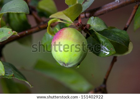 green apple on a branch - stock photo
