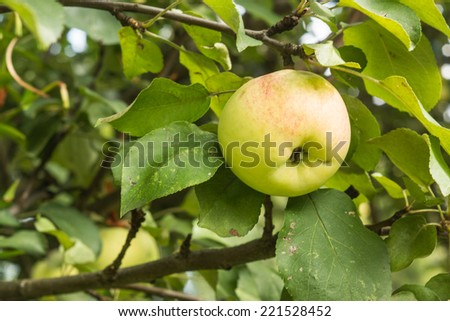 Green apple tree branch with fresh tasty juicy apple on a sunny garden  - stock photo